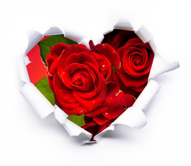 bild-rote-rosen-01